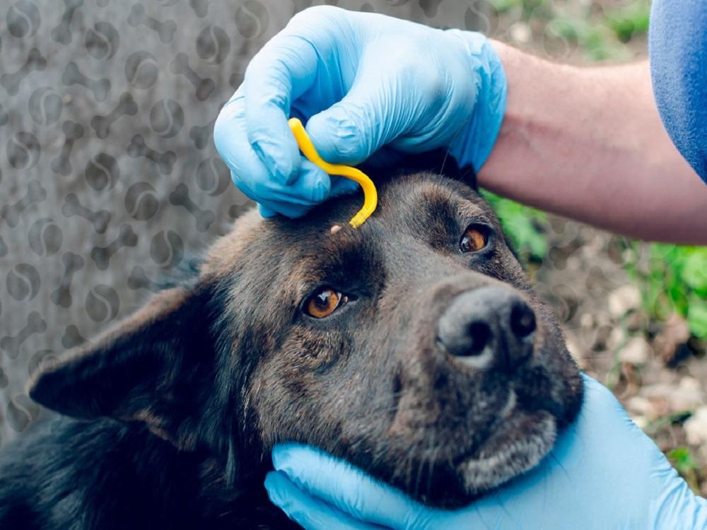 Собаку укусил клещ лечение
